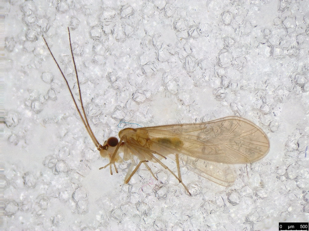 11 - Psocodea sp.