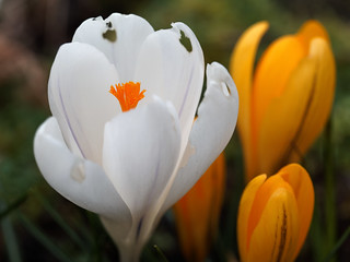Golden and White Crocus 1 | by Whidbey LVR