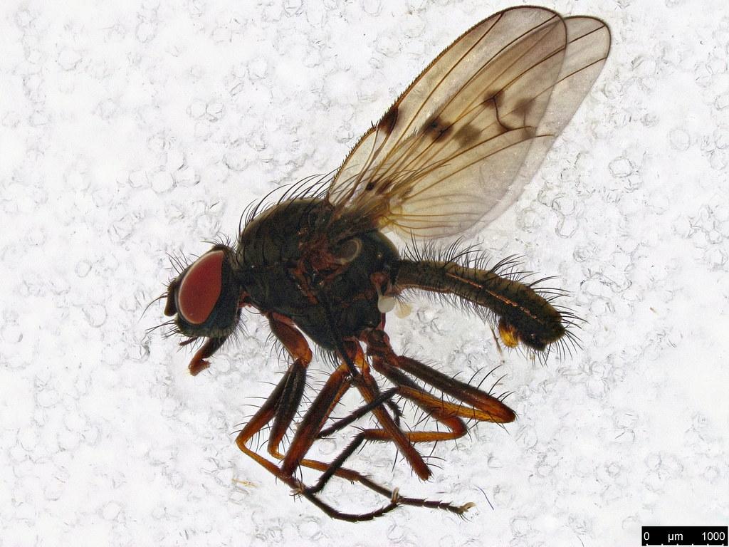 19 - Anthomyia punctipennis Wiedemann, 1830