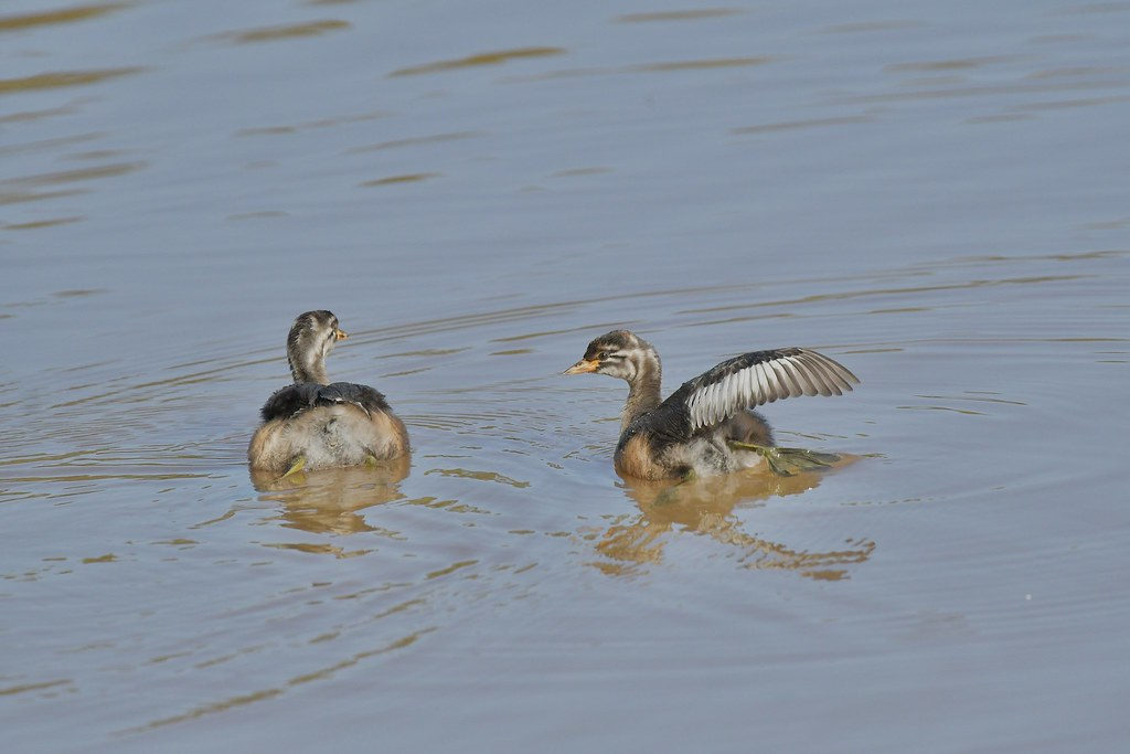 Australasian Grebe  ( staying together )