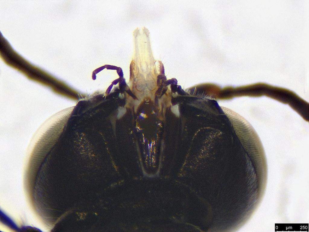 21b - Vespoidea sp.