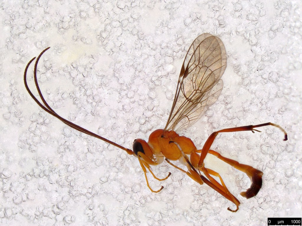 26 - Ichneumonidae sp.