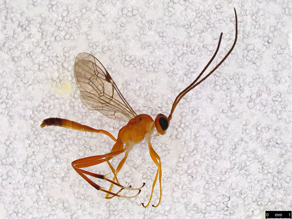 27 - Ichneumonidae sp.