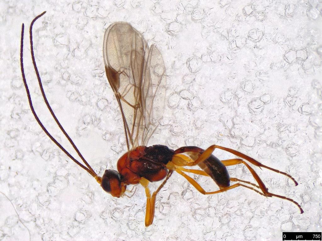 30 - Braconidae sp.