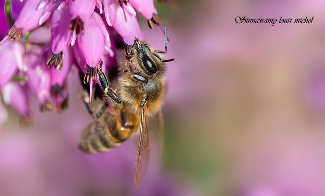 Honeybee / Abeilles domestique