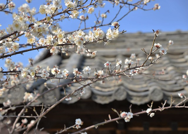 ✪ご近所のお寺さんの梅➁ -愛知県奴山氏-