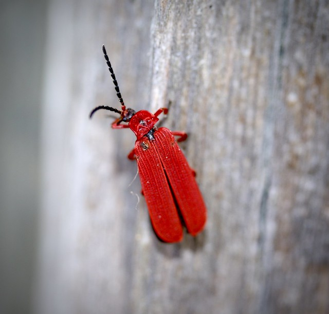 Red-Net Winged Beetle (Dictyoptera simplicipes), Prunedale, California, 02-26-21
