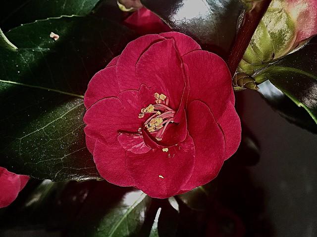 #Kamelie #Camellia #Japonica