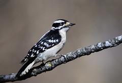 Downy Woodpecker female by Jackie B. Elmore 2-2-2021 Jefferson Co. KY