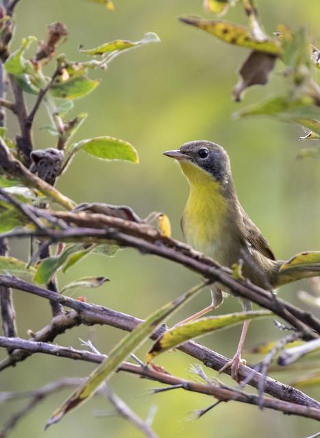 Common Yellowthroat - Lakeland Co., FL  11-2020