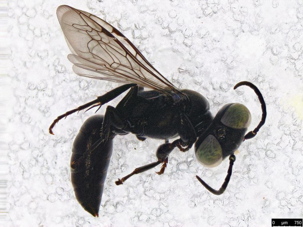 21a - Vespoidea sp.