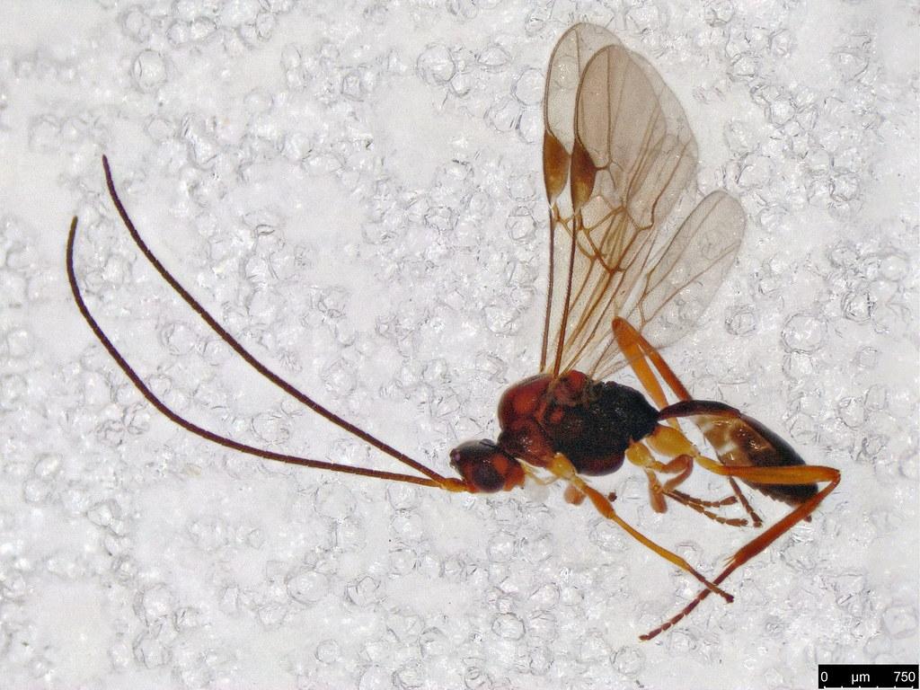 31 - Braconidae sp.