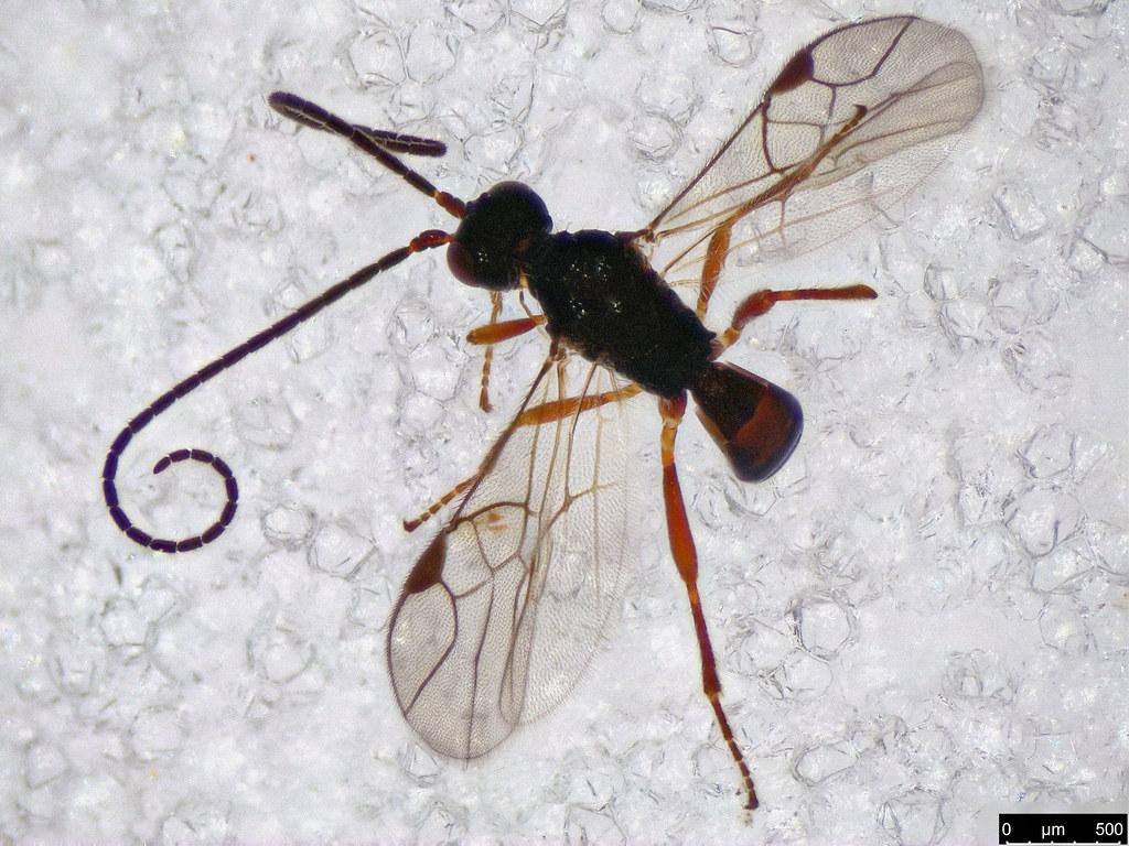 33 - Braconidae sp.