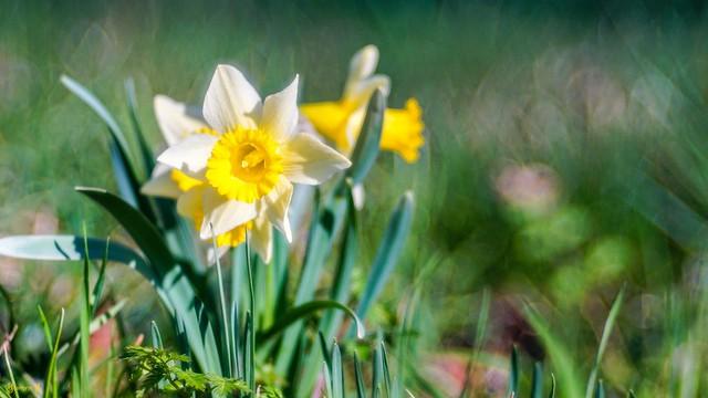 9472 - Narcisse