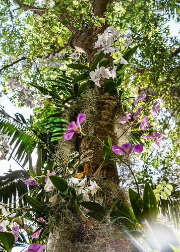 orchid outdoor tree epiphyte epiphytic nature pink white garden botanicalgarden fairchildtropicalbotanicalgarden florida tropicalrainforest rainforest richardhsimons plant greenery