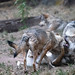 Wolves play fighting