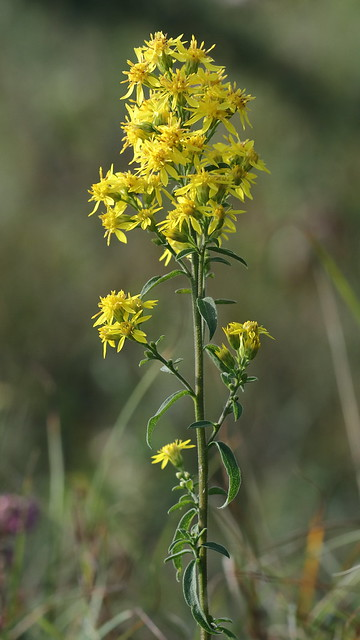 Solidago virgaurea (Goldenrod)