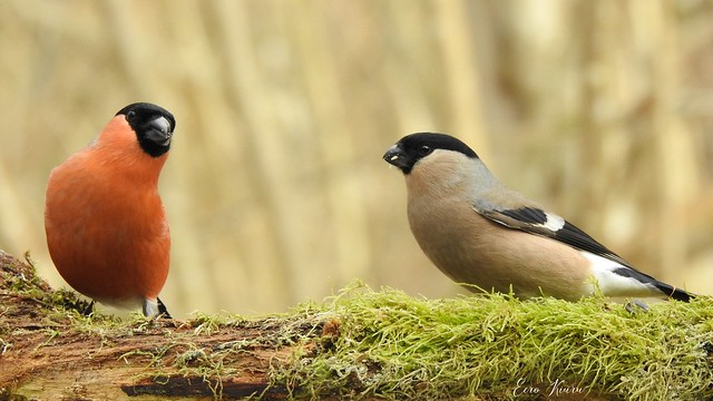 Bullfinches (Pyrrhula pyrrhula)