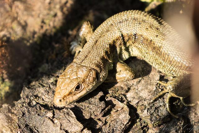 Common Lizard-3515