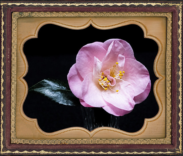 First Pink Camellia 2021