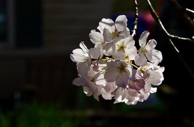 cherry blossoms 1