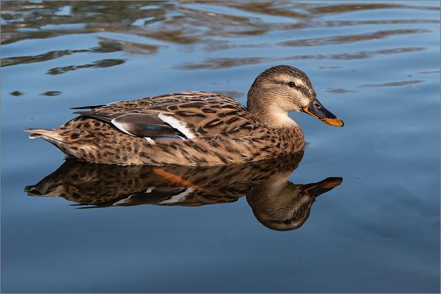 Ich bin die Schönste im Teich.