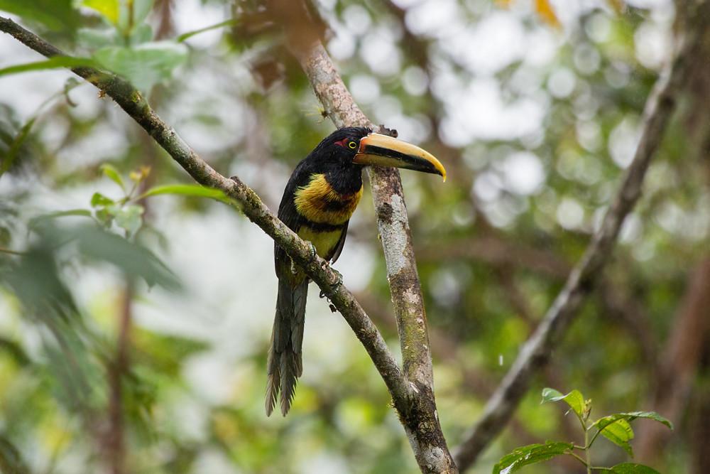 Pale-mandibled Aracari (Pteroglossus erythropygius)