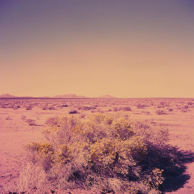 bloom (xpro). mojave desert, ca. 2013.
