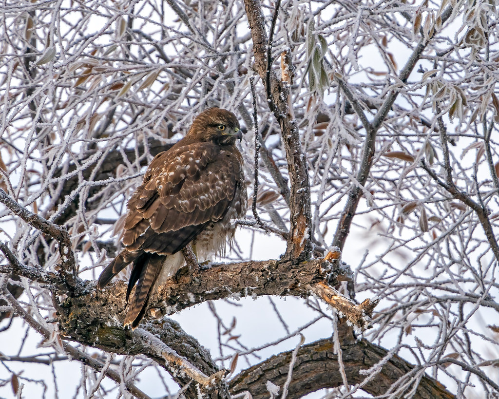 Hawk in Tree 233