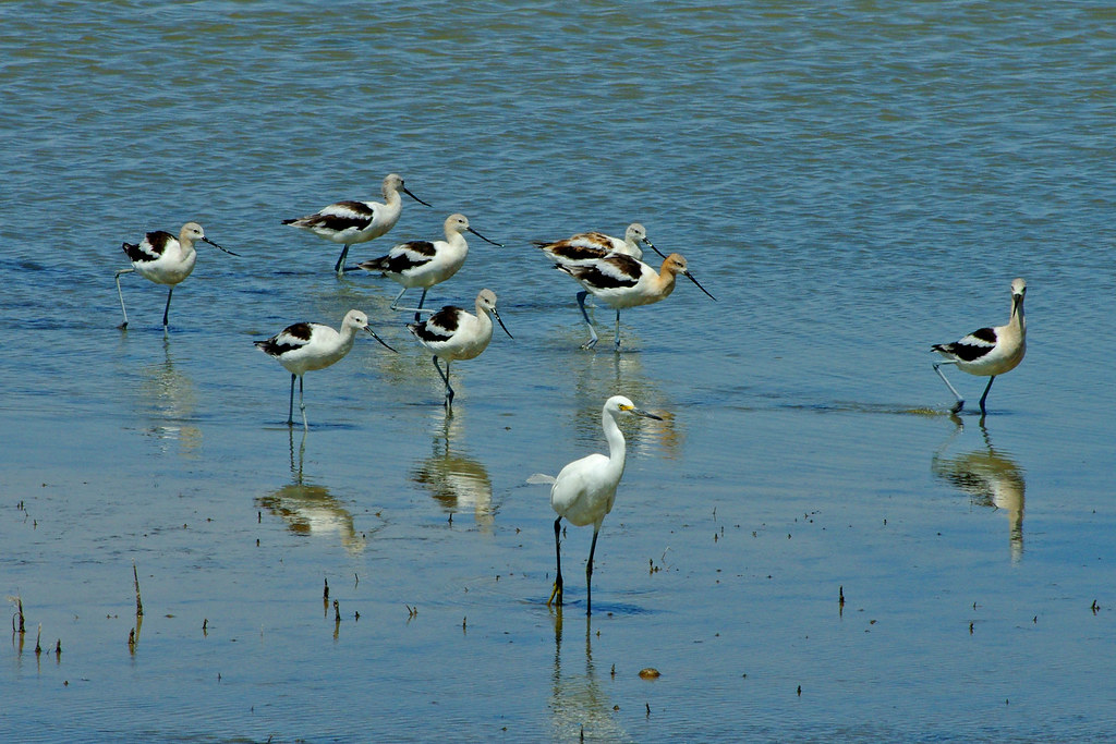 American Avocets and Snowy Egret.  Bitter Lake National Wildlife Refuge.  New Mexico, USA.