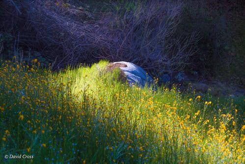 lupine spring bridgeport sierranevadafoothills landscape canonef24105mmf4lisusm lightroom6 poppies topazstudio buttermilktrail southyubariverstatepark nevadacounty canon5dmarkiii