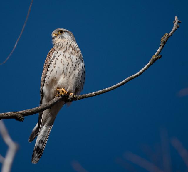 Kestrel - Turmfalke (Falco tinnunculus)
