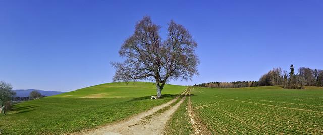 Lonely tree at Burtigny