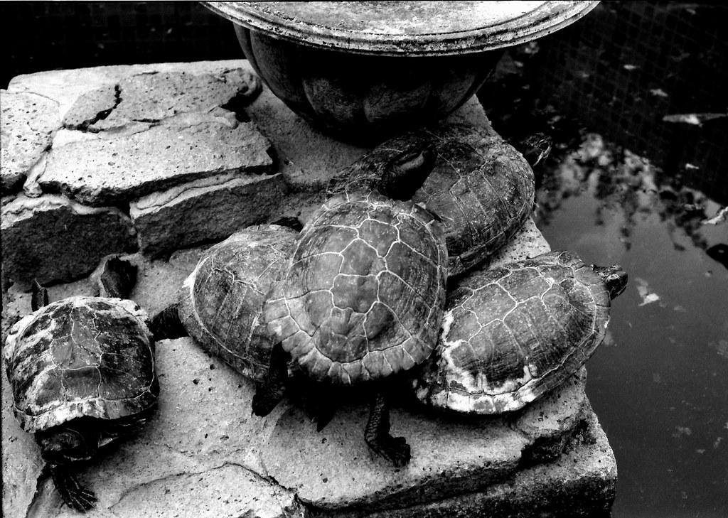 Tortugas de orejas rojas (Retina IIc Enero 2021 IMG_20210122_0012)