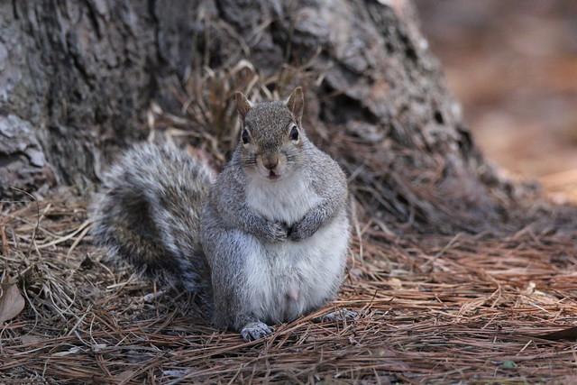 eastern gray squirrel (Sciurus carolinensis) explored