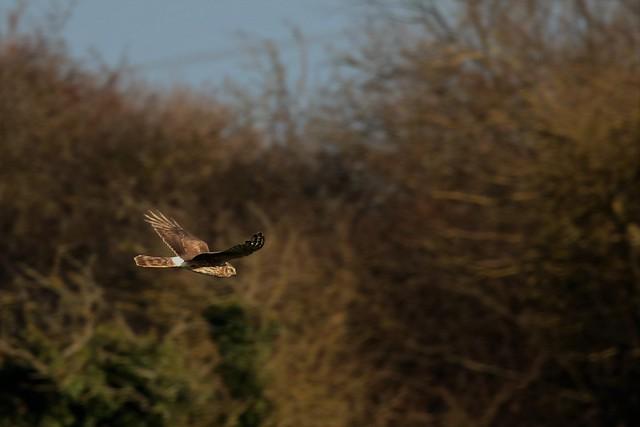 Hen Harrier  (Circus cyaneus)  Female  Romney Marsh Kent