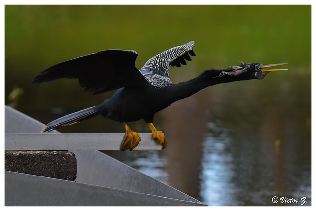 Anhinga, Snakebird, Lake Mary Florida --801