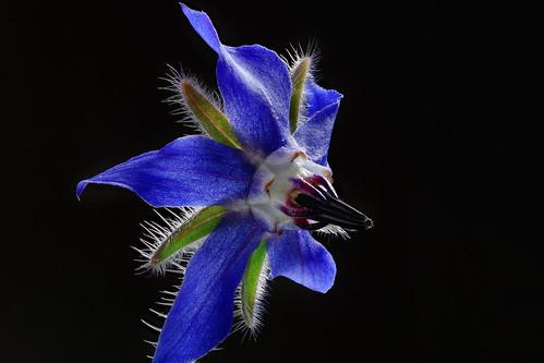 flower borage boragoofficinalis blue petals macro focusstack sanrafael marincounty california