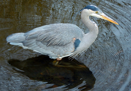 Great Blue Heron in the duck pond on Granville Island, Vancouver