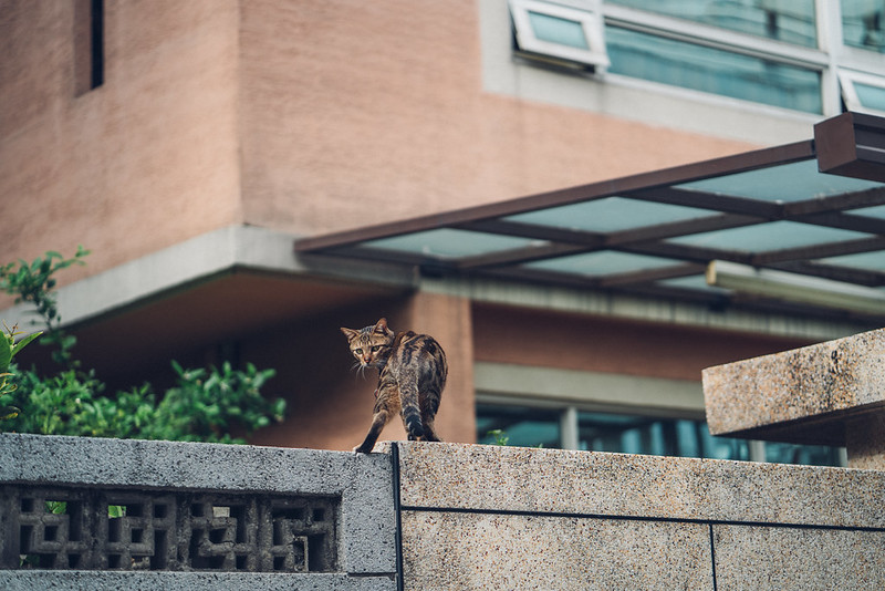街貓|Cat