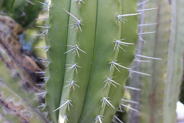 Cactus thorns 2