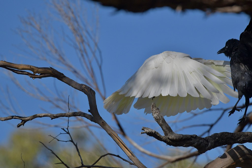 Sulphur-crested Cockatoo and Raven ( hide and seek )