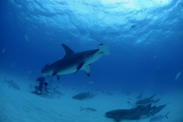 Grand requin marteau / Great hammerhead shark