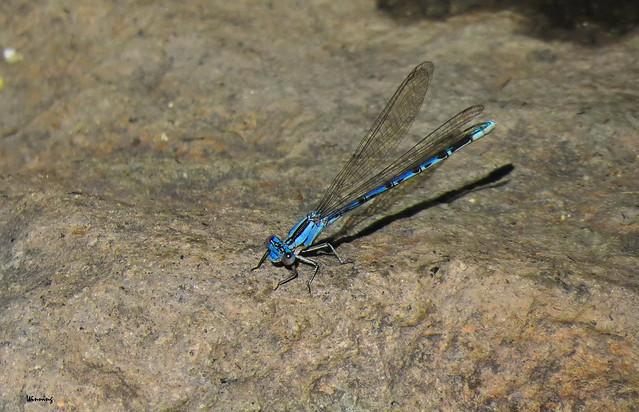 Blue-fronted Dancer 7335