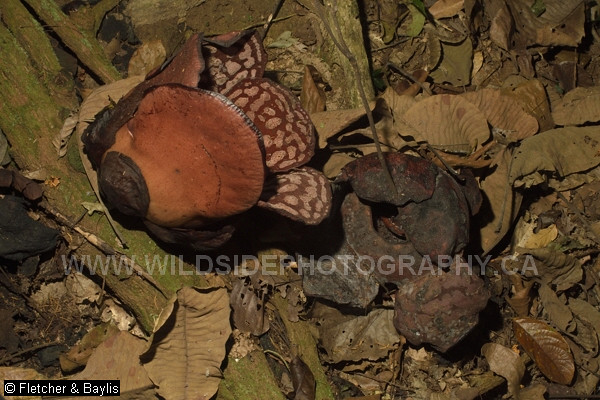 50948 Seq 46 Timelapse sequence, two Rafflesia cantleyi buds bloom and die over 9 days in lowland rainforest, Perak, Malaysia. ~4.25 hours between photographs.