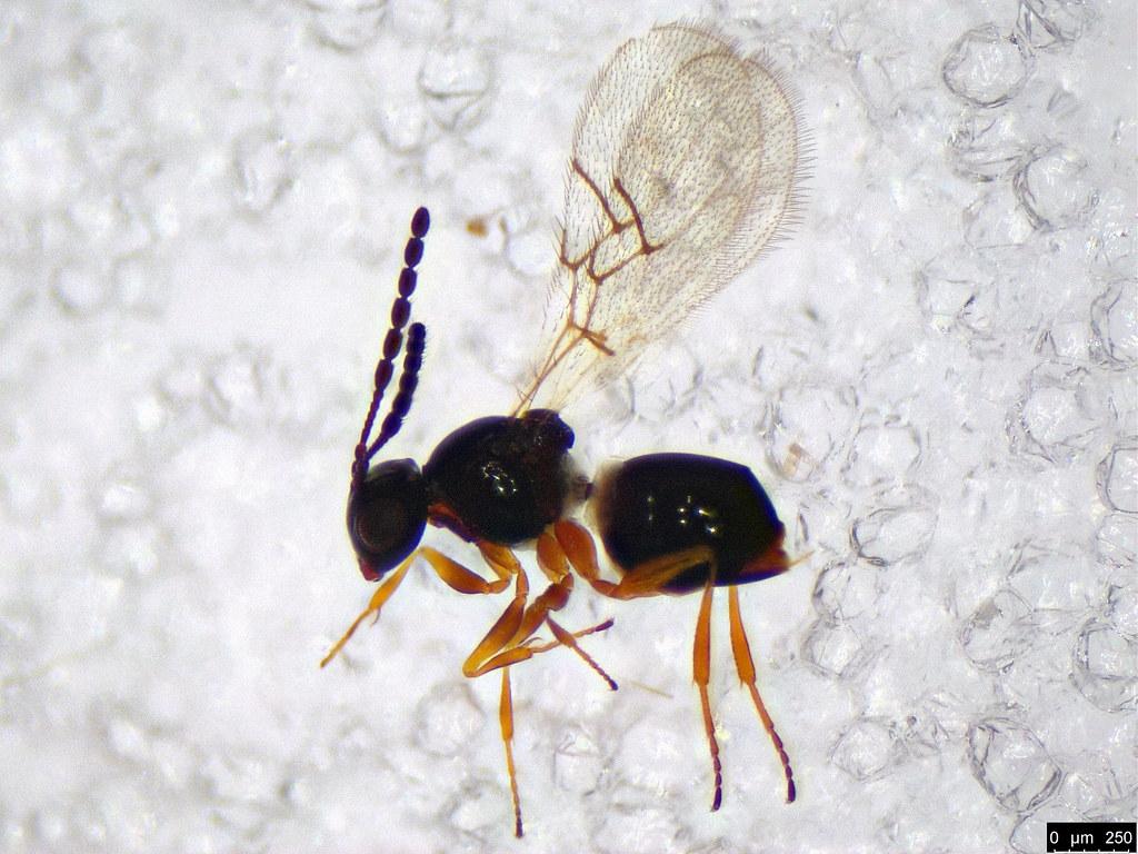 35 - Cynipoidea sp.