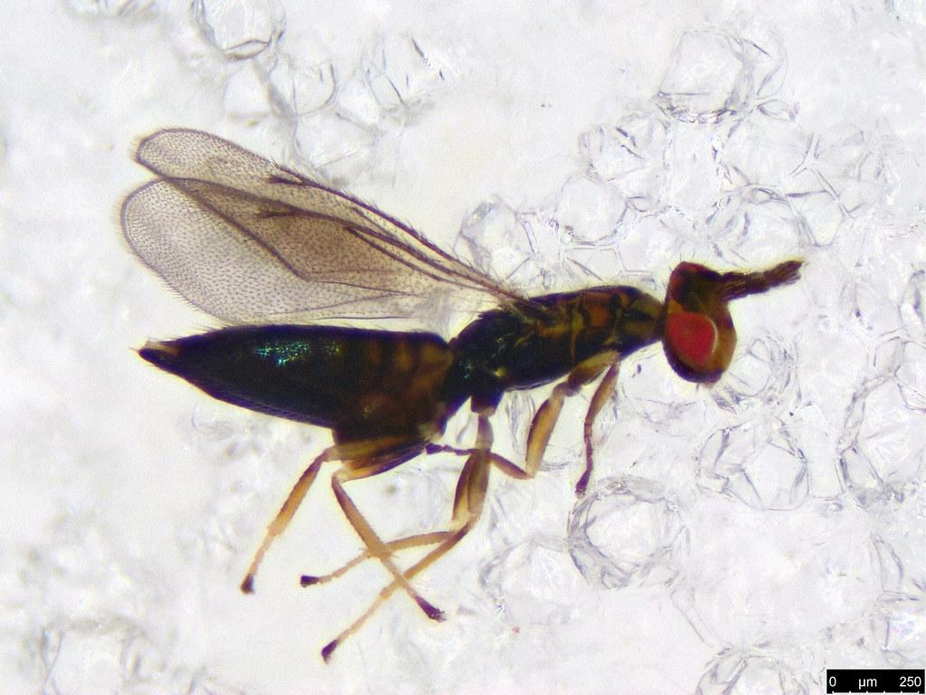 40 - Chalcidoidea sp.