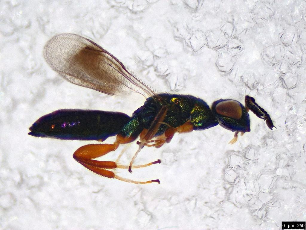 41a - Eulophidae sp.