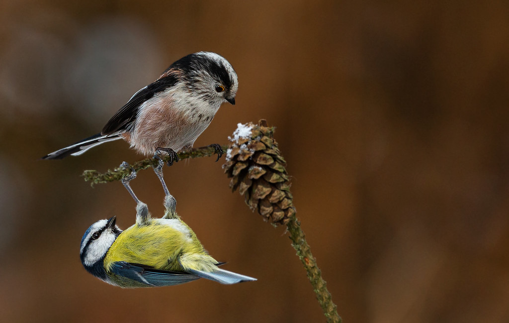 Blue-tit-and-LTT-Lp-10-02-21-crop