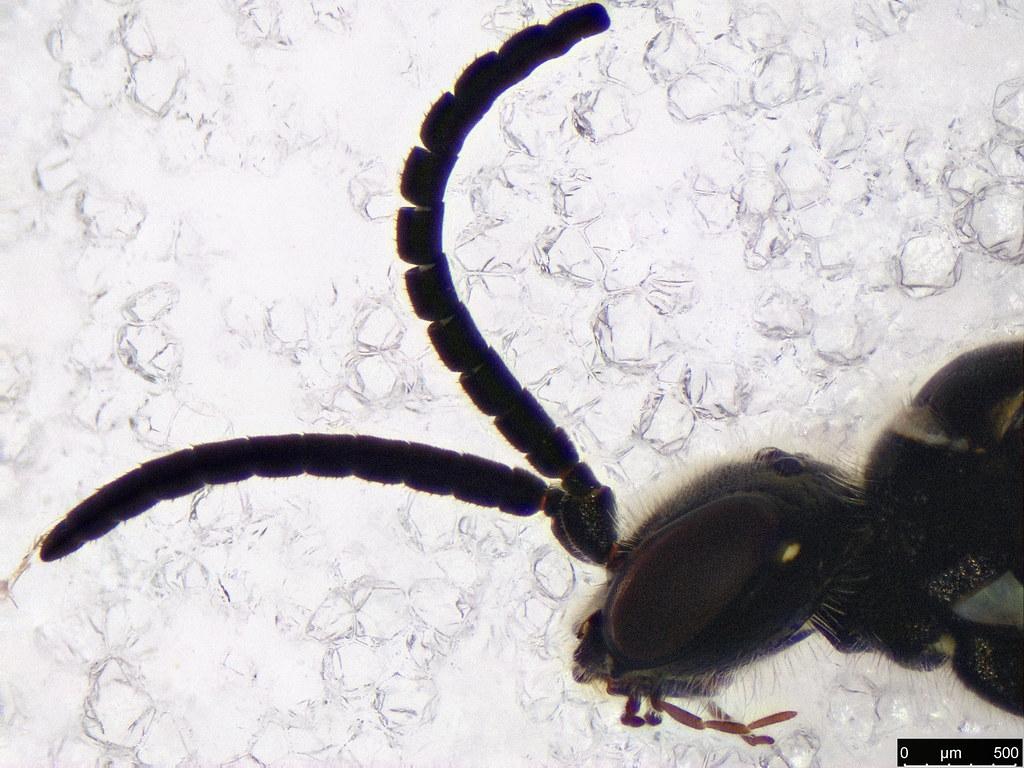 49c - Hymenoptera sp.